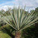 Convert spent two nights in field of Sisal, a species of Agave cultivated in Kenya among other countries. (Wikipedia)